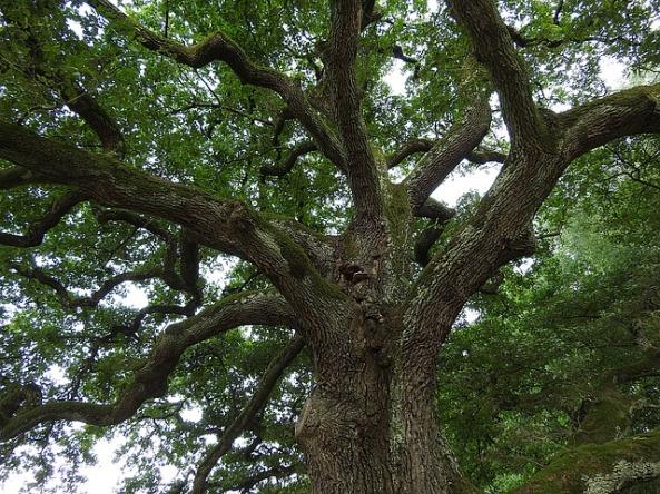 oaktreepixabay